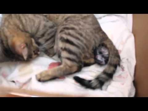 Когда начинают шевелиться котята у беременной кошки сфинкс | my darling cats