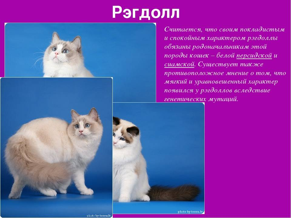Кошка рэгдолл: описание породы с фото, характер животного, особенности содержания