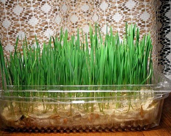 Трава для кошек: какую травку они любят, как она называется, как ее сажать и проращивать дома?