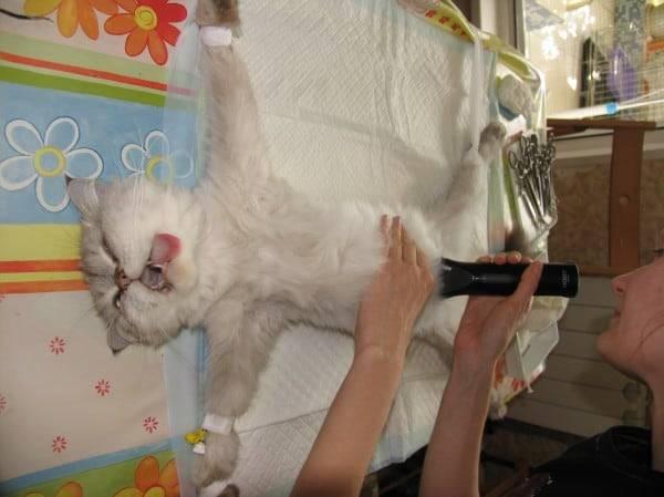 Кошка не пьет воду – как не допустить обезвоживания