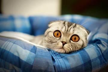 Основные правила вязки шотландской вислоухой кошки — советы специалистов