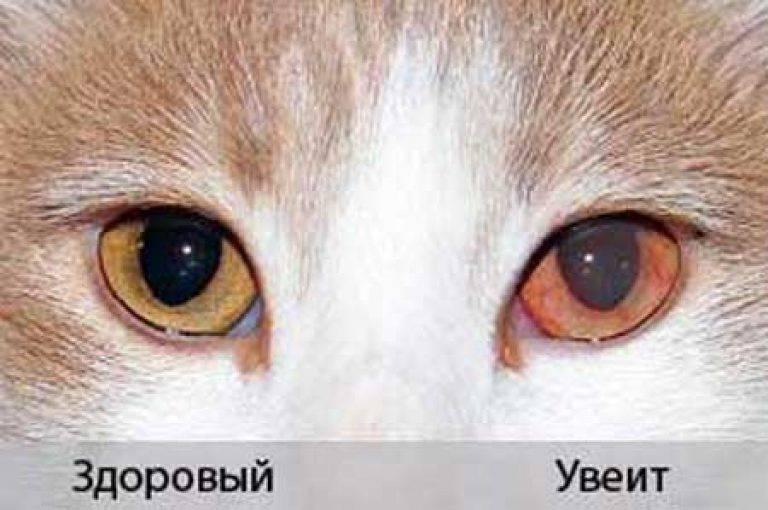 Пленка на глазу у кошки - симптомы, лечение, препараты, причины появления | наши лучшие друзья