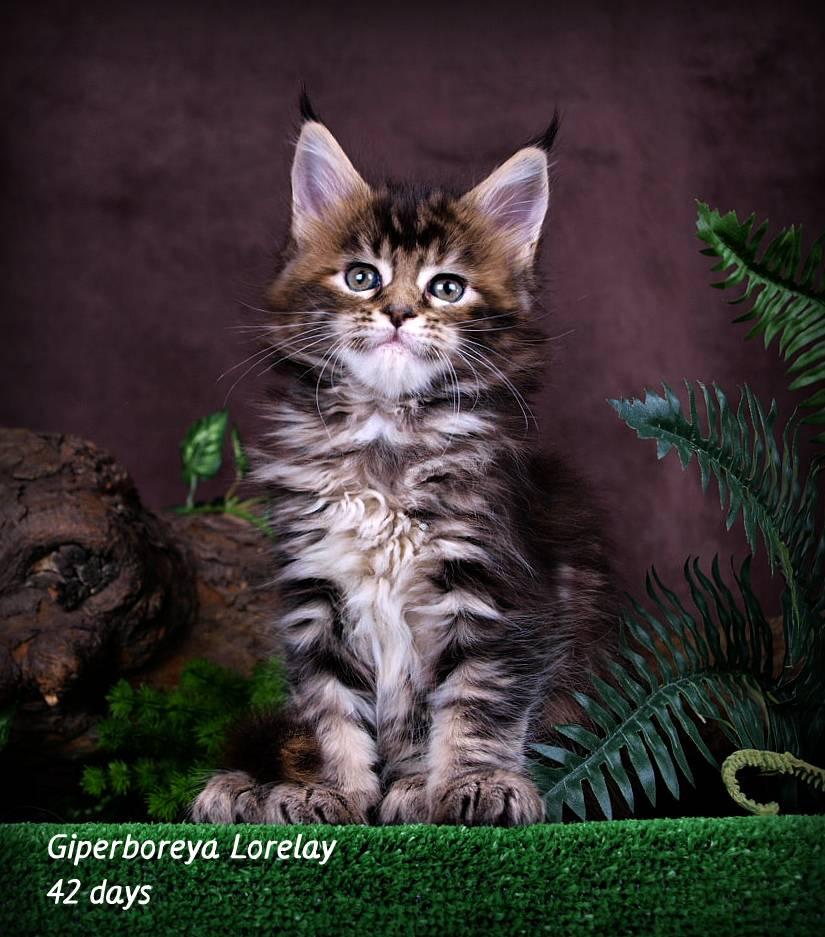 Имена для мейн-кунов мальчиков: прикольные и красивые клички для котов породы мейн-кун