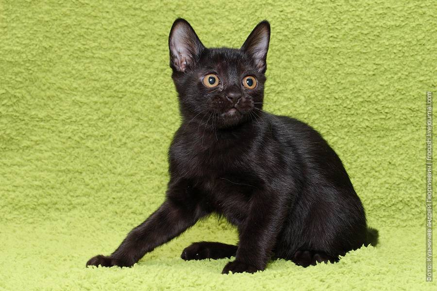 Бомбейская кошка: описание породы