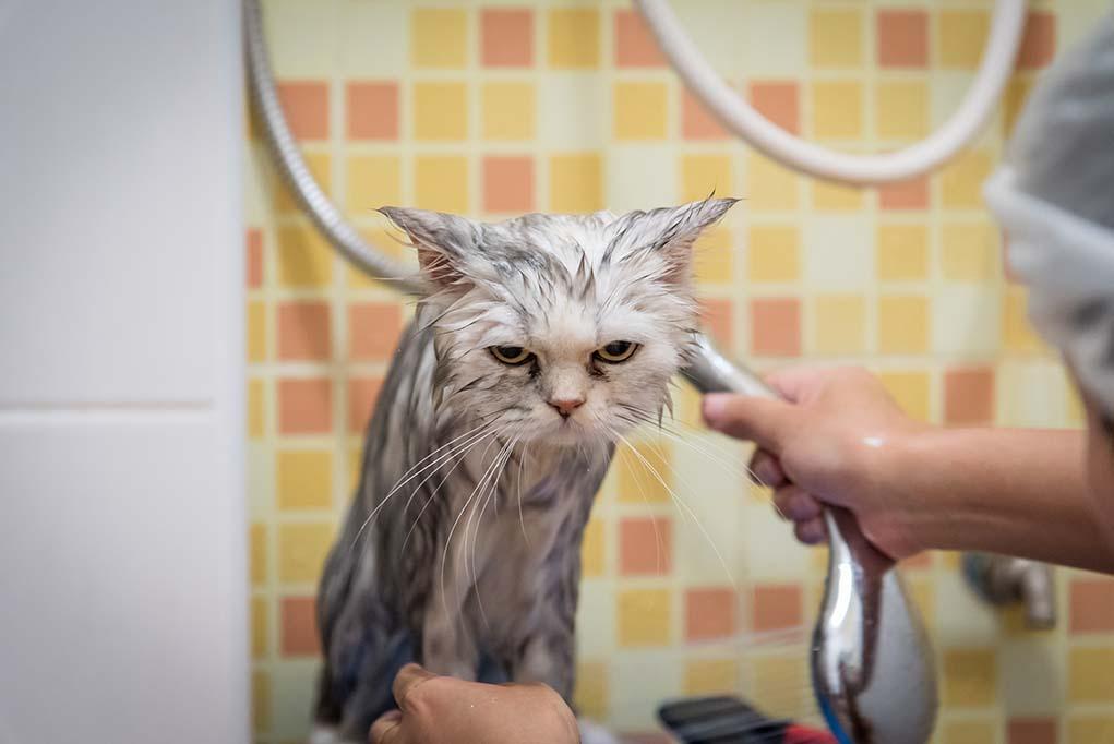 Как искупать кошку и остаться живым