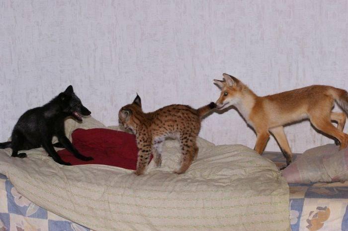 Каких хищных диких кошек можно держать в домашних условиях, как организовать их содержание дома?