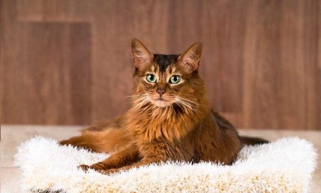 Сомалийская кошка: фото, описание, характер, содержание, отзывы