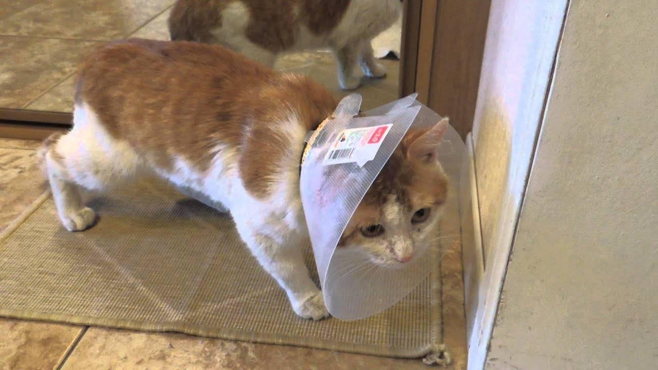 Воротник для кошки своими руками: как сделать и надеть, сколько носить после операции? - kotiko.ru