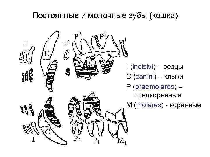 Определяем по зубам возраст котенка и устраняем стоматологические проблемы