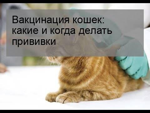 Вакцина от лишая для кошек отзывы ветеринаров