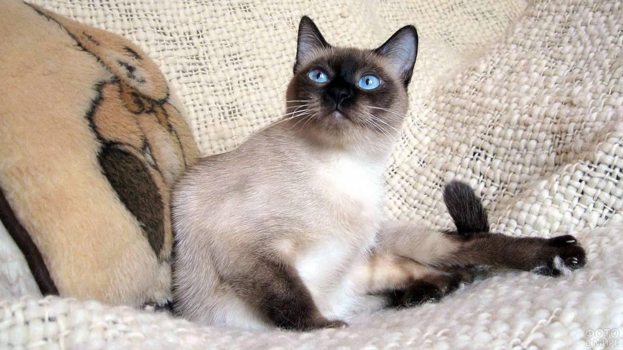 Как правильно выбрать котенка сиамской кошки
