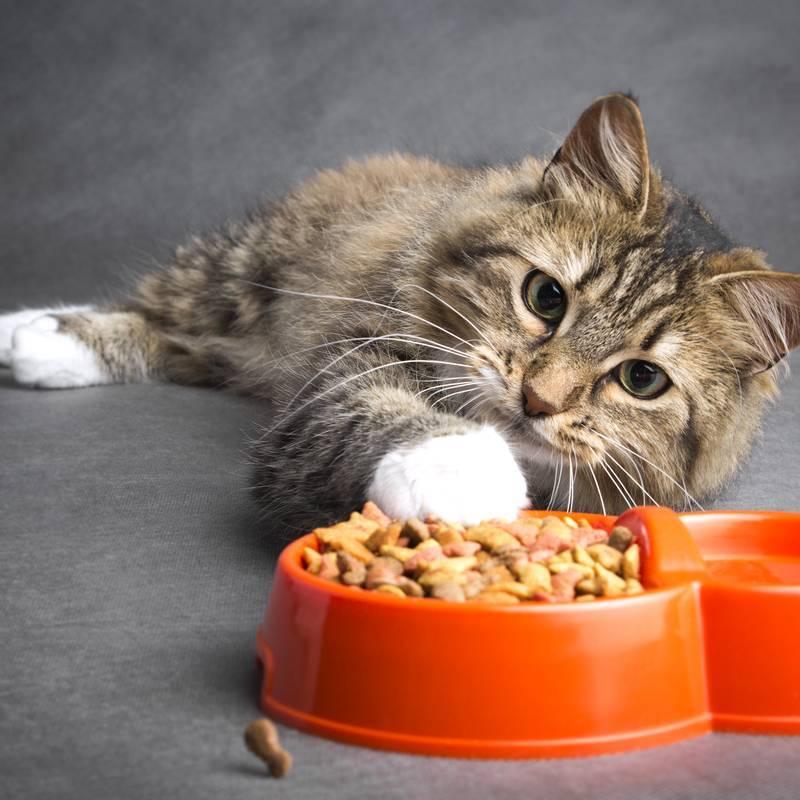 Причины, по которым ваш кот постоянно хочет есть
