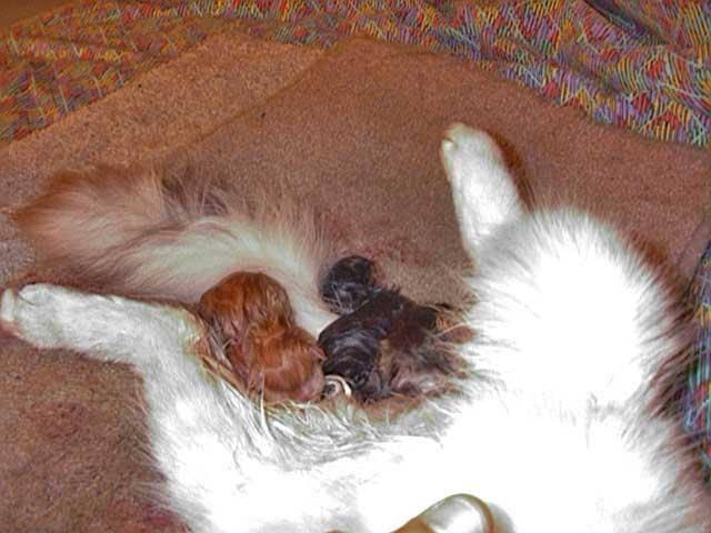 С какого возраста кошка может забеременеть первый раз, когда ей можно рожать?
