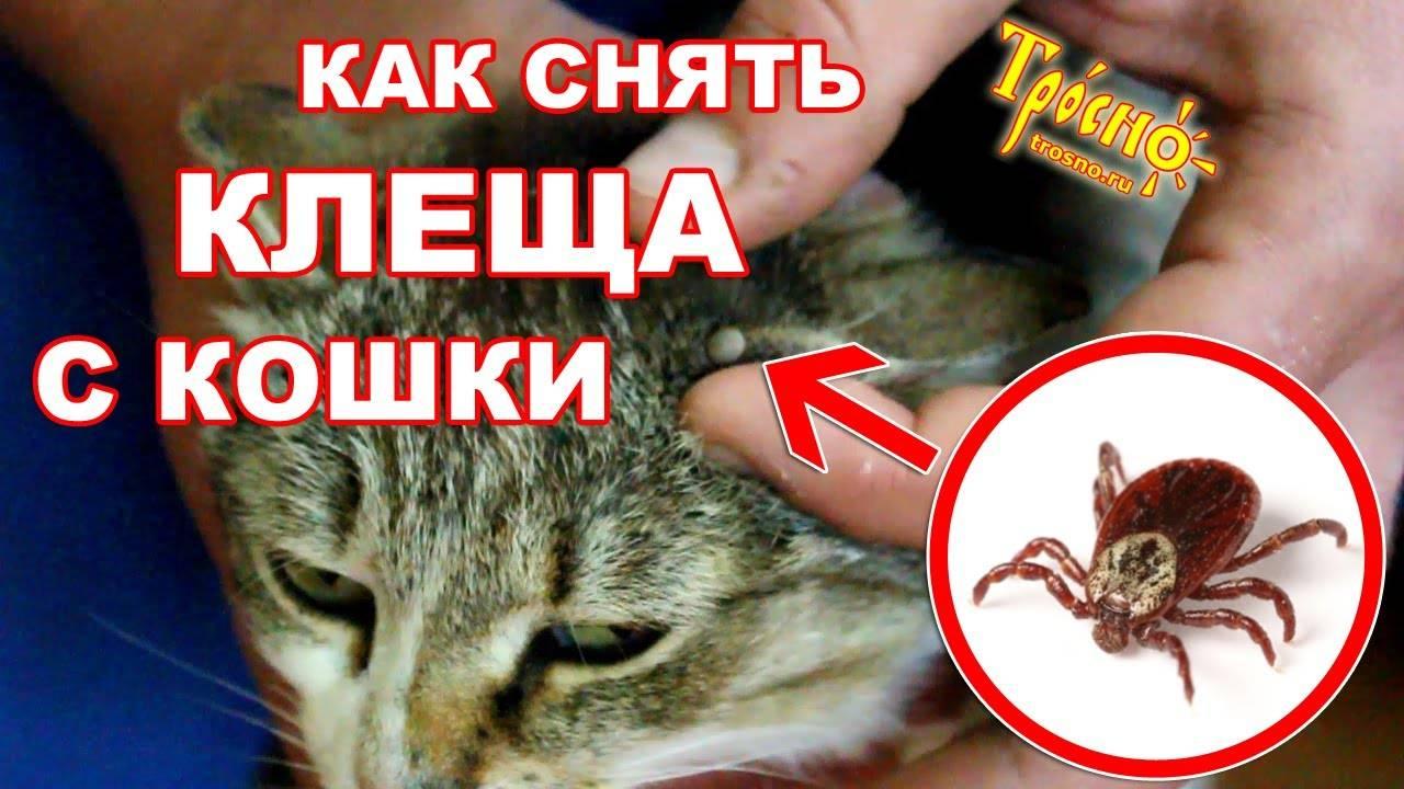 Как грамотно вытащить клеща у кота