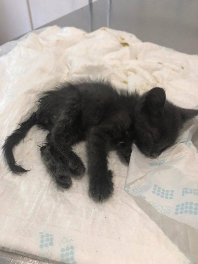 Чумка у кошки. 12 самых явных симптомов панлейкопении