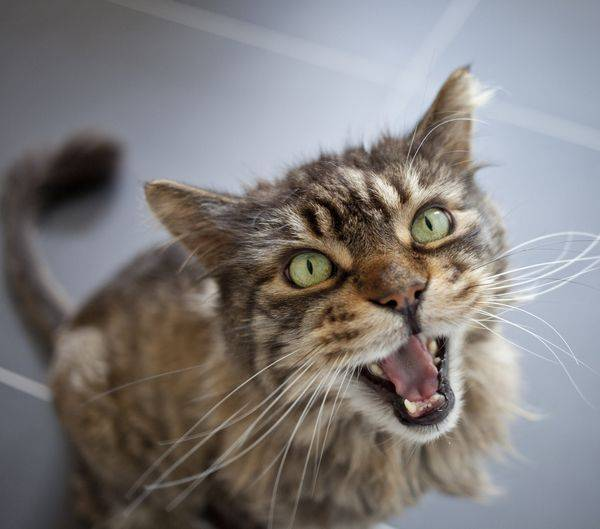 Почему кот мяукает без причины?
