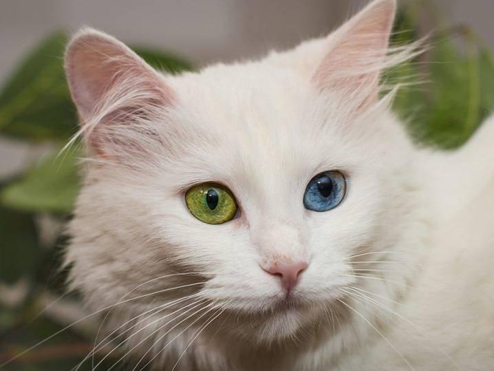 Белая кошка (фото): особенности характера, уход за белоснежной красавицей - kot-pes