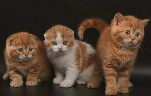Имя для серой британской кошки. как назвать серую кошку девочку?