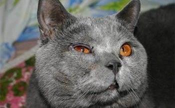 У шотландской вислоухой слезятся глаза. слезятся глаза у котенка шотландского вислоухого