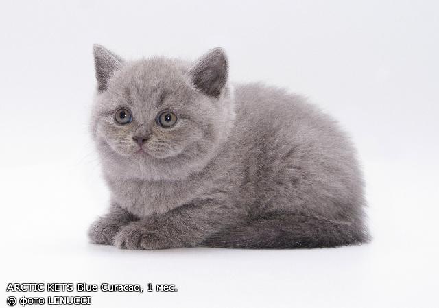 Сколько стоит британский котенок в минске? котята-британцы: цена в беларуси - от чего зависит и как формируется стоимость котят британской кошки