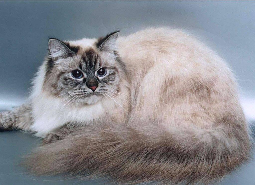 Невская маскарадная кошка: фото, цены, описание породы, характер, видео, питомники