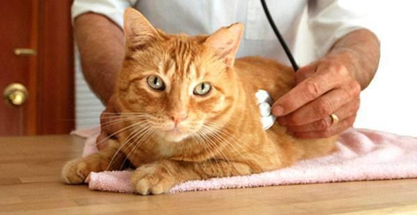 Лечение цистита у кошек: выясняем причину и симптомы, профилактика и уход