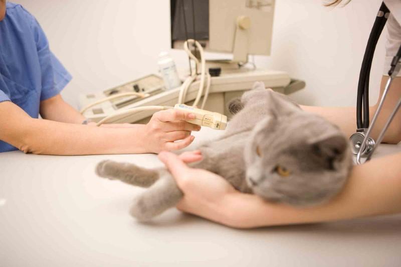 Как подготовить кошку к узи мочевого пузыря