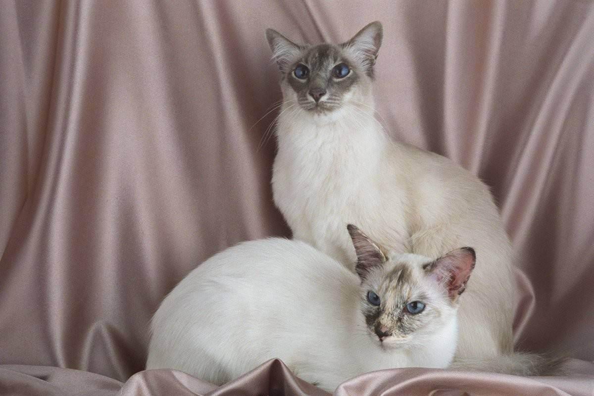 Балинезийская кошка: описание породы, фото, видео, стоимость котят