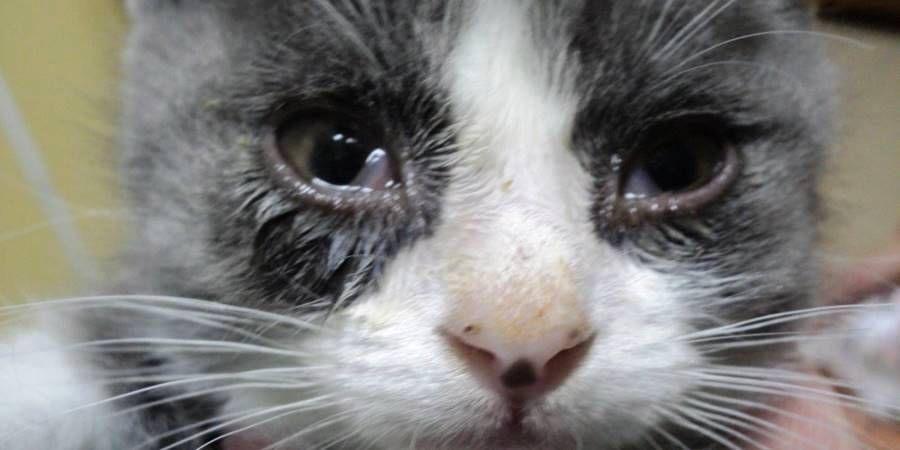 Причины темных выделений из глаз у кошки