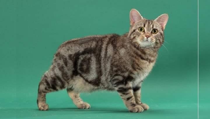 Мэнкс — описание породы и характер кошки