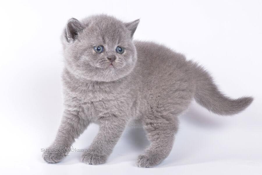 Британская кошка сколько стоит котенок ⋆ онлайн-журнал для женщин