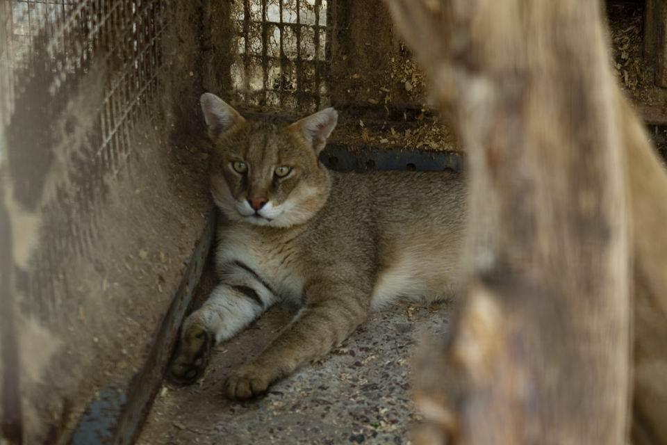 Камышовый кот - jungle cat
