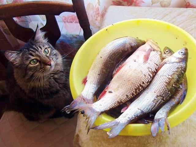 Можно ли кормить кошек рыбой – 3 за и 7 против