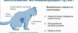 Короновирусная инфекция у кошек: лечение и симптомы, опасность