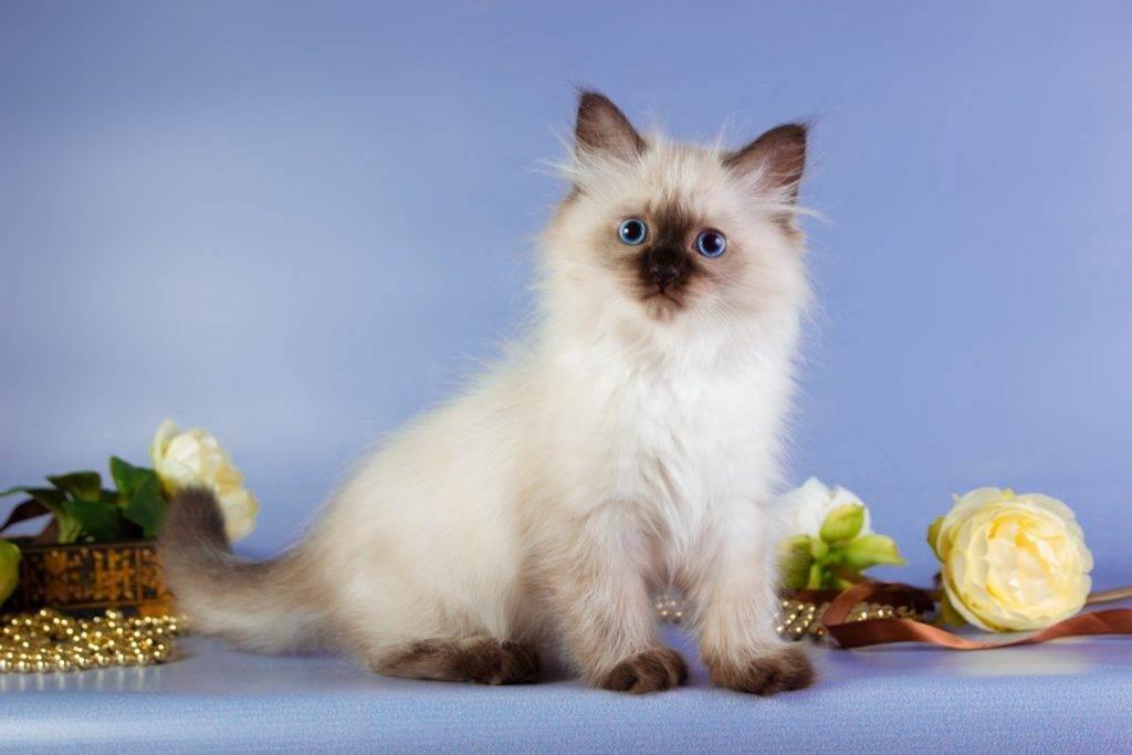 Невская маскарадная кошка – фото и описание внешнего вида, характера и содержания