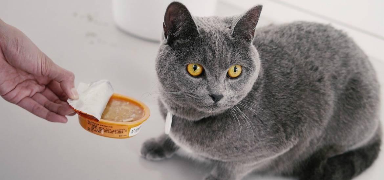 Чем кормить котенка шотландской вислоухой – правильный рацион, рекомендации