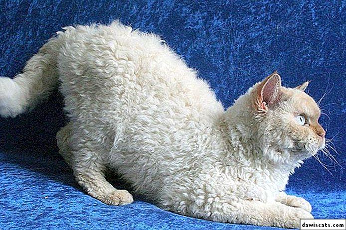 Селкирк-рекс – кошка-интеллигент с перманентной завивкой