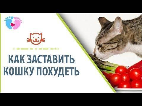 Как похудеть коту???