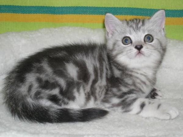 Персиковый окрас: британцы и другие породы кошек кремового цвета