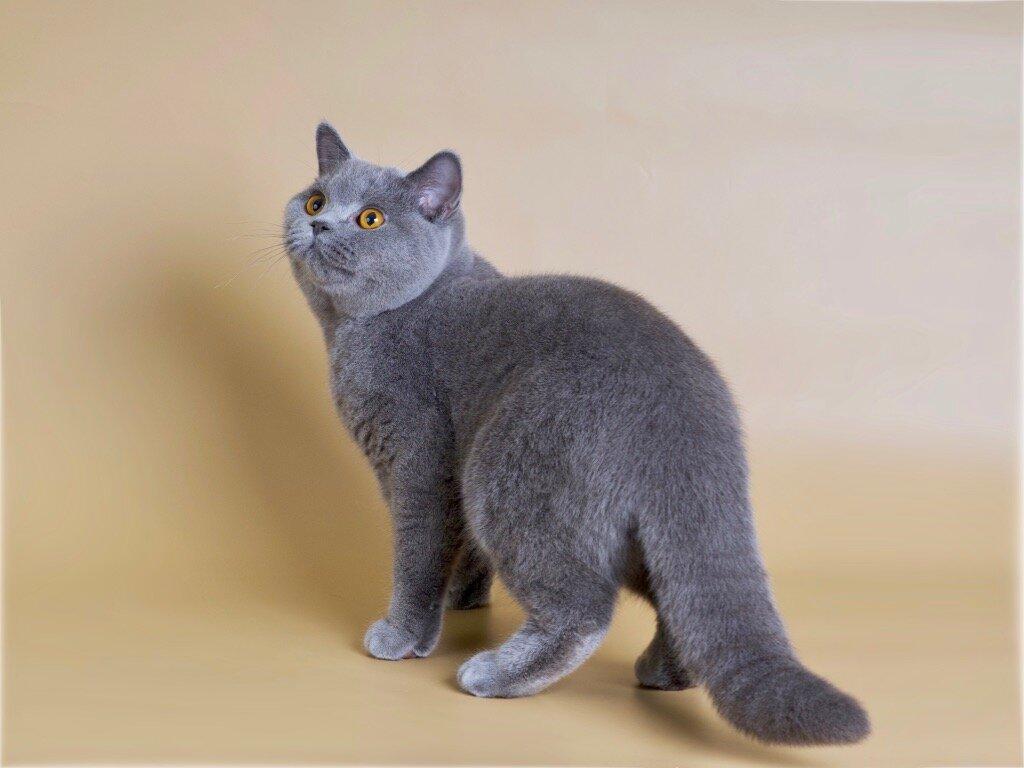 Британские котята: фото, цена или сколько стоит британский котенок? цена на британскую кошку, кота и котенка: голубые, золотые, шиншиллы, лиловые, белые, черные, шоколадные, кремовые, вискас, рыжие, м