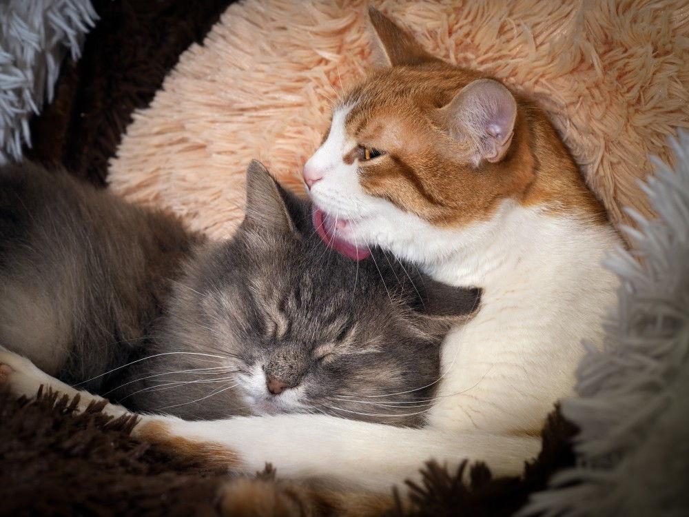 Два кота в доме: как подружить соседей
