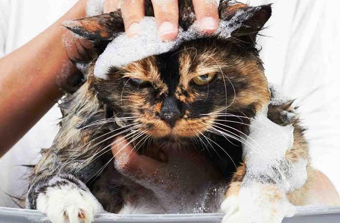 Мэнкс: уход за шерстью, ушами, глазами, зубами и когтями (фото), как ухаживать за шерстью мэнкса? как купать мэнкса? как ухаживать за зубами глазами мэнкса? как ухаживать за ушами когтями мэнкса? породы кошек