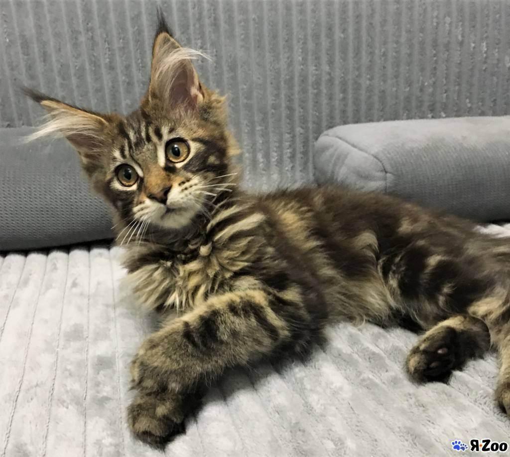 Сколько стоит котенок мейн-куна - цена и фото