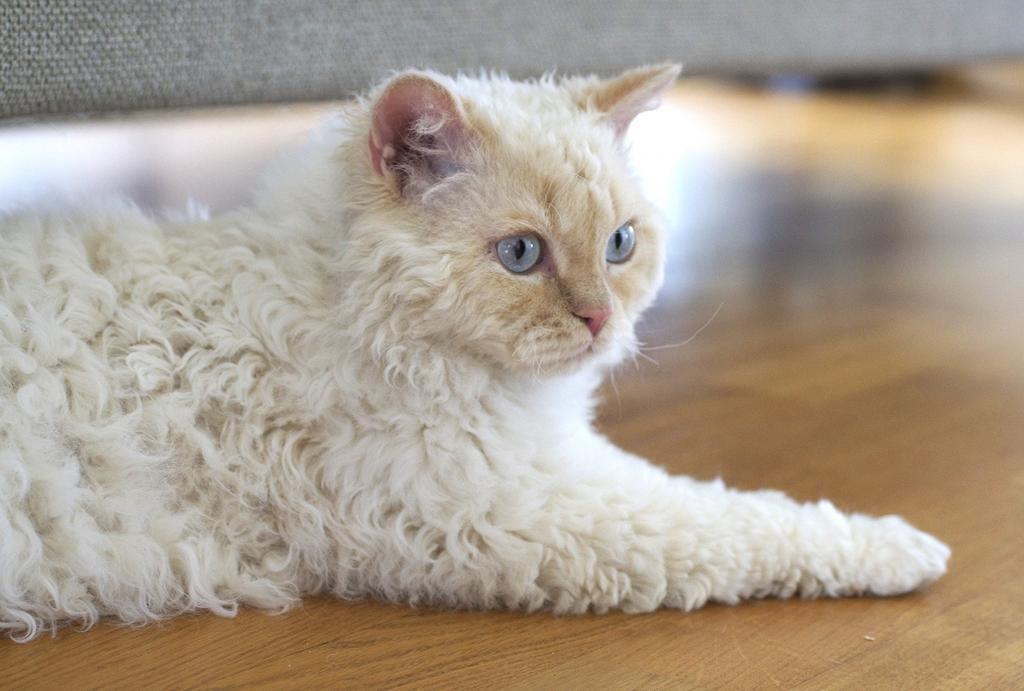 Кудрявые породы кошек, их названия и фотографии