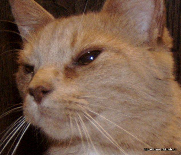Что делать, если у кота слезятся глаза и есть насморк? | рутвет - найдёт ответ!