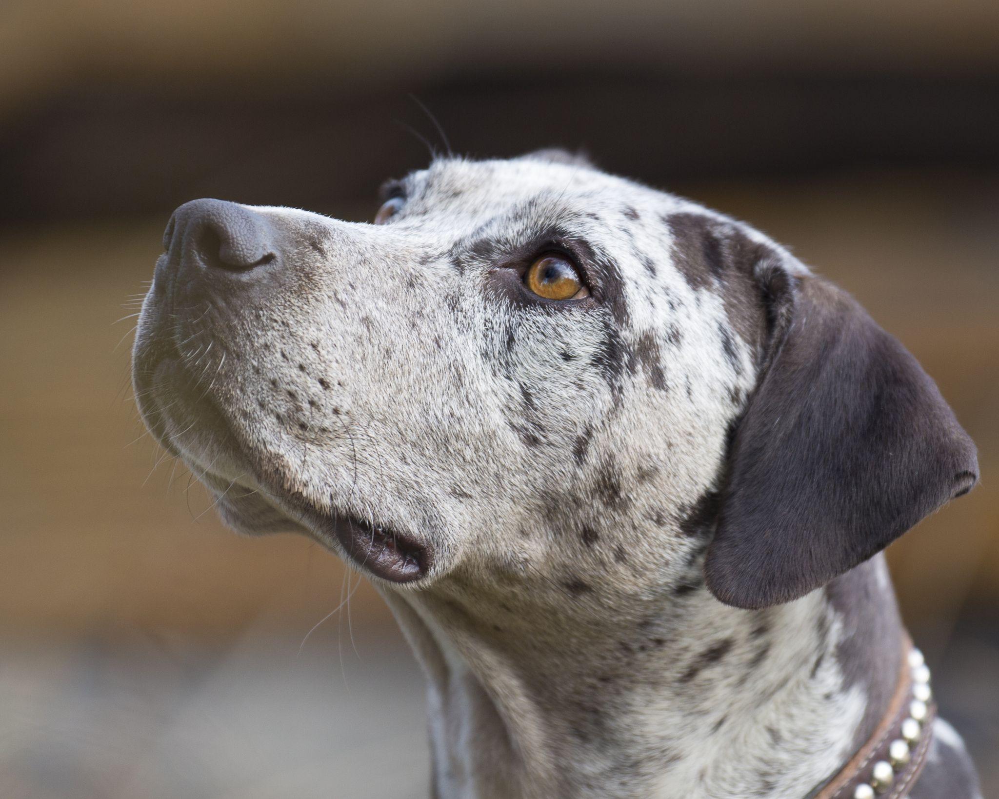 ᐉ леопардовая собака катахулы описание породы - zoomanji.ru