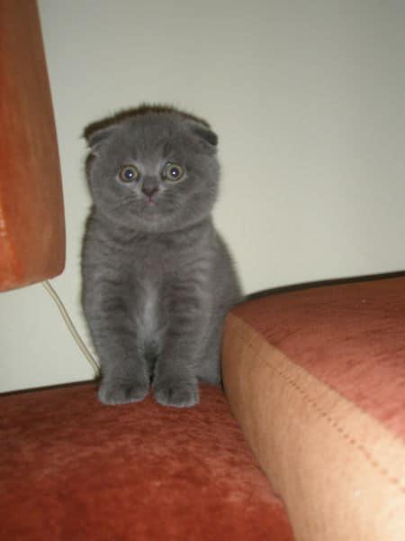 Имена для вислоухих кошек девочек прикольные. имена для кошек девочек шотландских вислоухих, британских и обычных пород.