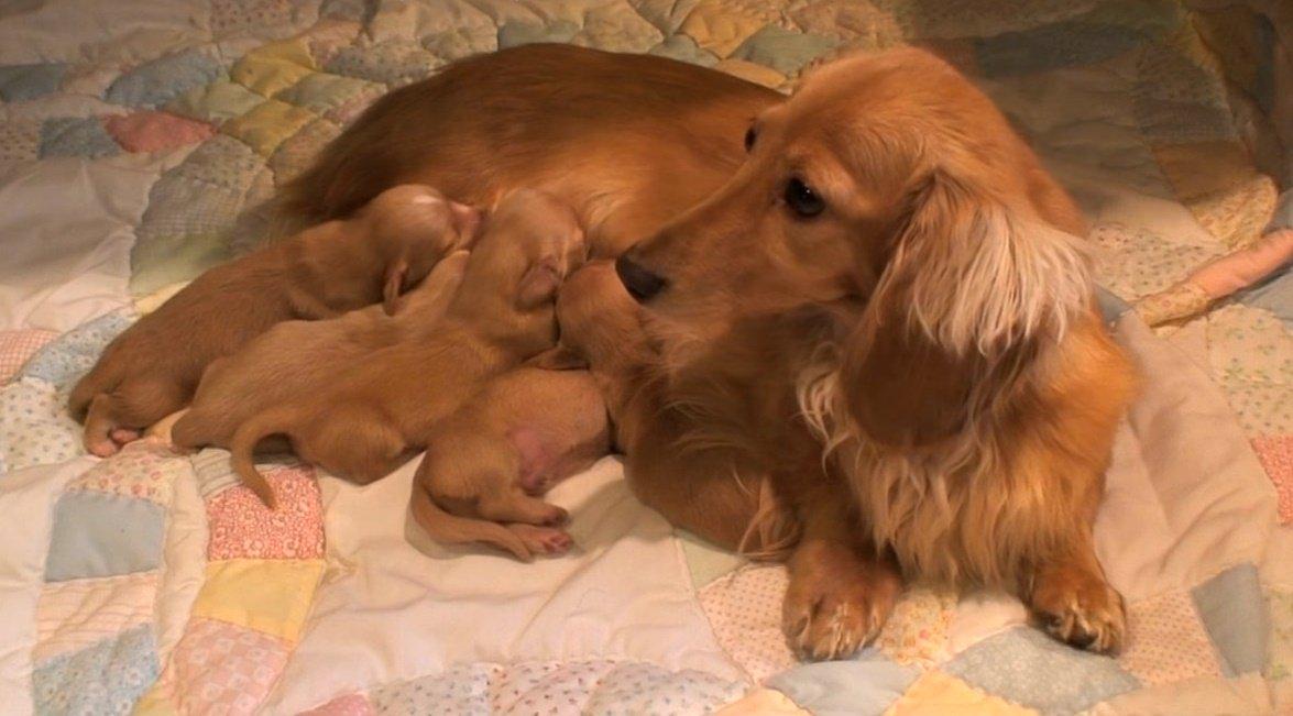 Профилактика послеродовой эклампсии у собак