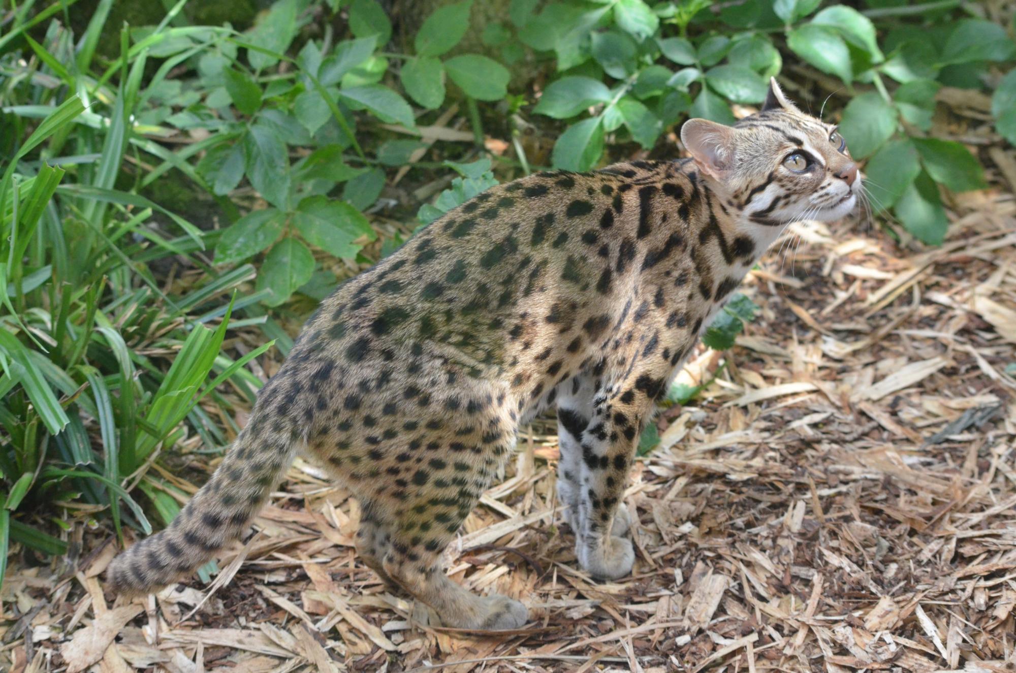 Леопардовая кошка — что за порода и как называется