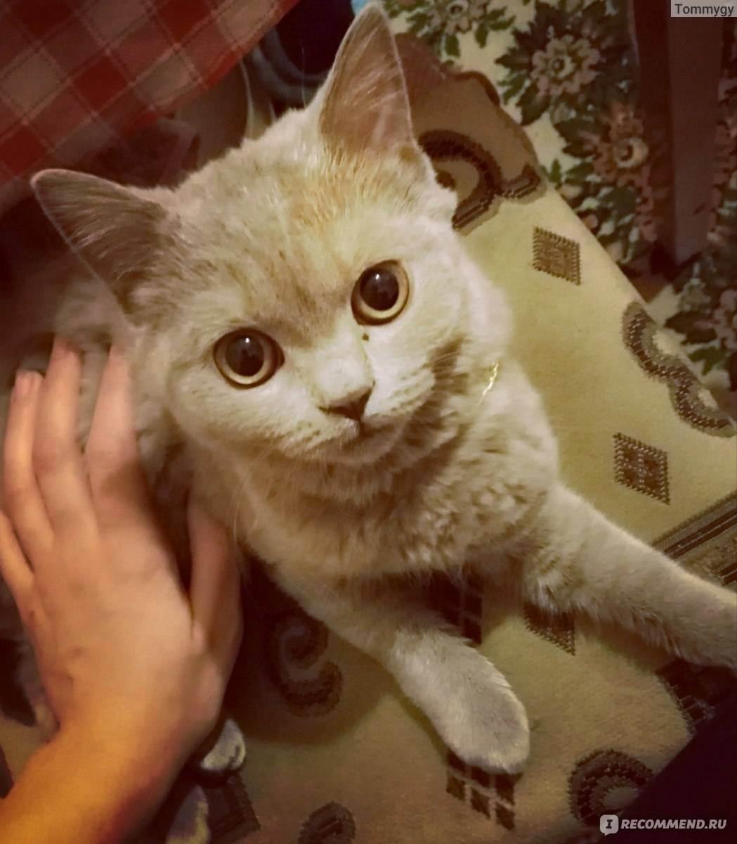 Скоттиш страйт: фото кошки, цены котят, описание породы, характер, отзывы, содержание и уход, питание + интересные факты